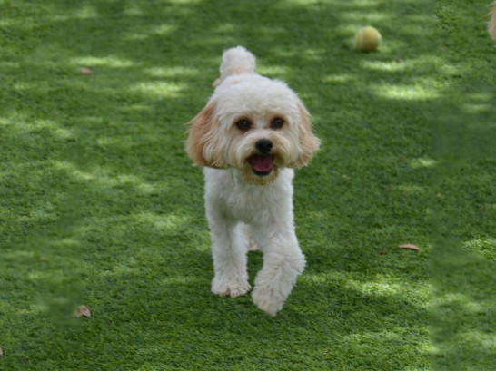 Artificial Grass Photos: Fake Turf Idyllwild-Pine Cove, California, Dogs